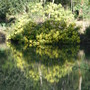 Wattle in the Water, from my blog 'Wind vs Wattles' (Acacia longifolia (Sydney golden wattle))