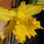 Daffodil (Narcissus pseudonarcissus (Daffodil))