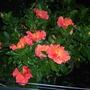 Hibiscus rosa-sinensis  - Orange Hibiscus (Hibiscus rosa-sinensis  - Orange Hibiscus)