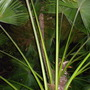 Brahea edulis - Guadaloupe Palm growing in Fern Canyon at the San Diego Zoo (Brahea edulis - Guadaloupe Palm)