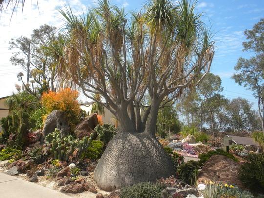 Beaucarnea recurvata - Ponytail Palm (Beaucarnea recurvata - Ponytail Palm)