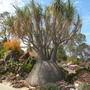 Beaucarnea recurvata - Ponytail Palm (Beaucarnea recurvata - Ponytail Palm)