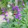 Blue Perennial Lobelia