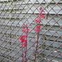 Red Perennial Lobelia