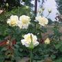 Unamed White Rose