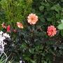 A small Dahlia