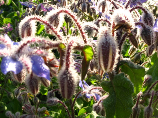 A few pics of Borage in the morning light -2