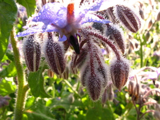 A few pics of Borage in the morning light -3