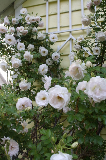 Rosa Rugosa in it's 6th year