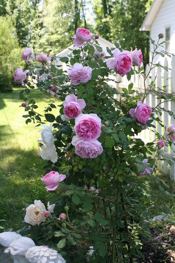 "David Austin's "" Huntington Rose"" in it's 4th year"