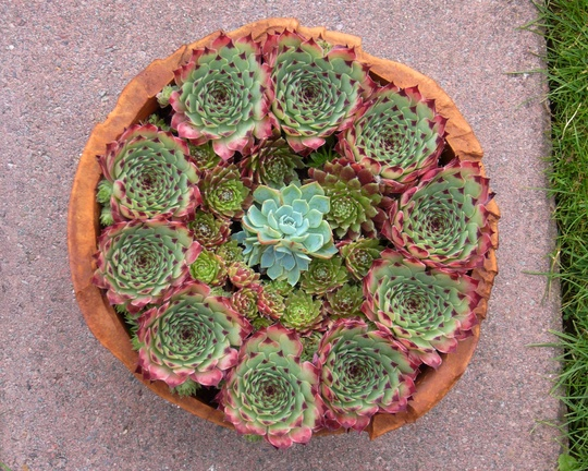 Houseleek circle in terra cotta ...