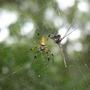 Spider_edisto