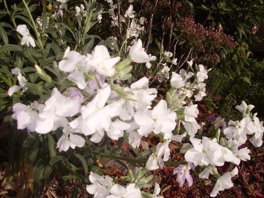 stock flower (Matthiola incana (Branching Stock))
