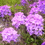 verbena 'homestead purple' (Verbena canadensis (Homestead Verbena))