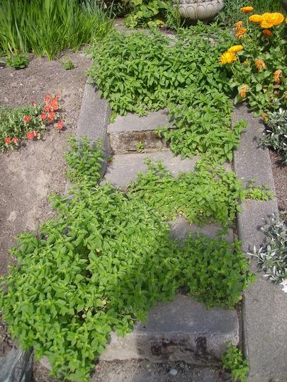 Oregano stairs (Origanum vulgare (Oregano))