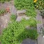 Origanum vulgare (Oregano)