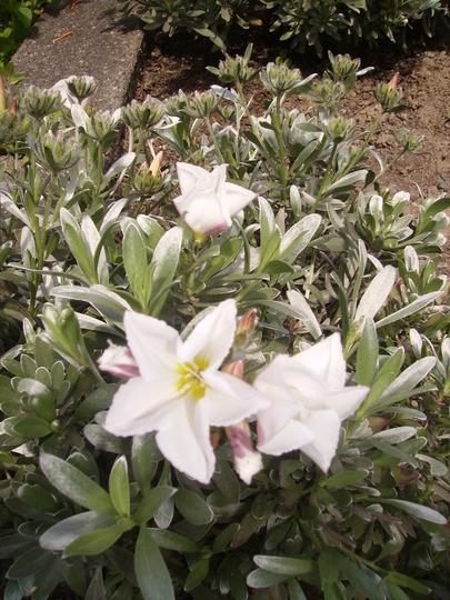 silverbush (Convolvulus cneorum (Silverbush))
