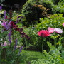Poppies v Sweetpeas (Papaver)