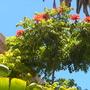 Spathodea campanulata - African Tulip Tree Flowering (Spathodea campanulata - African Tulip Tree)