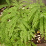 Five Finger Maidenhair fern (adiantum pedatum)