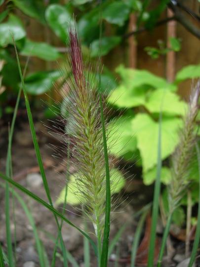 Pennisetum alopecuriodes 'Hameln' (Pennisetum alopecuroides (Chinese Fountain Grass))