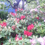 and more (rhododendron)