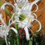 Hymenocallis_white_spider_lily