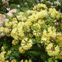 and more (rhodoendron)