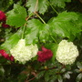 Snowball tree (Viburnum plicatum (Japanese snowball bush))