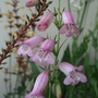 Penstemon_evelyn_