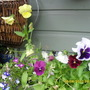 pansies in shed windowbox