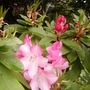 and more.. (rhododendron)