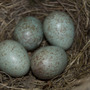 Blackbird Eggs