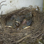 Blackbird_4_beaks.jpg