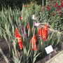 Gladioli 'Wig sensation' and 'Butterfly Mixed
