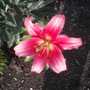 Lilly Asiatic 'Robina' (Lilly Asiatic 'Robina')