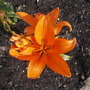 Lilly 'Brunello' (Lilly 'Brunello')