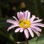 Chrysanthemum weyrichii (Chrysanthemum weyrichii)