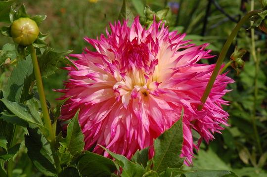 Dahlia 'Pinelands Princess' (Dahlia)