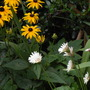 Rudbeckia and gerberas.