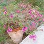 Rhododendron Azalea (Rhododendron austrinum (Florida Flame Azalea))