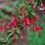 "Fuchsia ""David"" (fuchsia)"