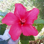 Hibiscus - Chinese Rose (Hibiscus rosa-sinensis (Chinese Hibiscus))