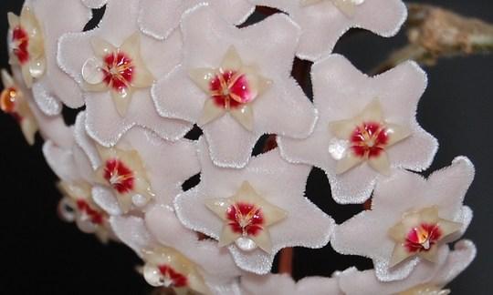 Hoya Bella (Hoya carnosa (Honey Plant))