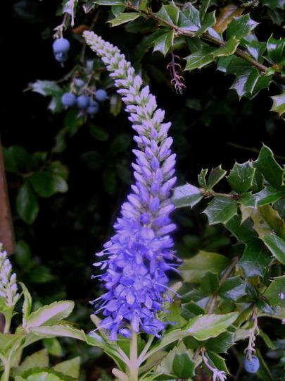 Veronica Spicata  ' Blue Banquet '