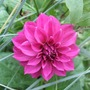 Last_year_s_bedding_dahlia