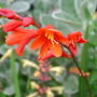 Crocosmia_fire_king_