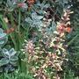 Agastache_planted.
