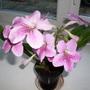 Streptocarpus  Stella