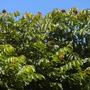 Spathodea campanulata - African Tulip Tree flower buds (Spathodea campanulata - African Tulip Tree)